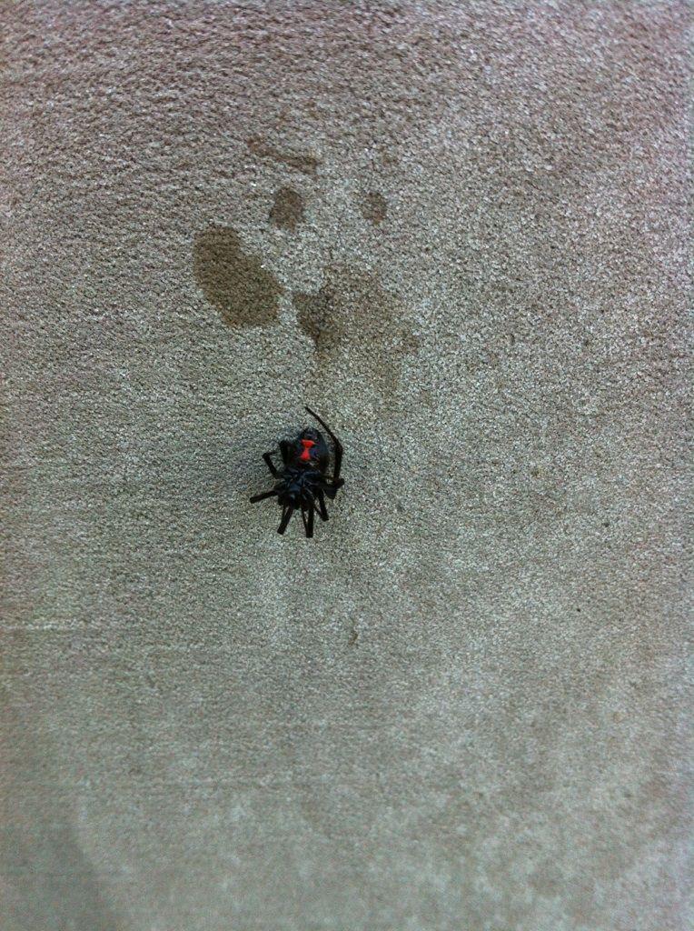 Houston Black Widow