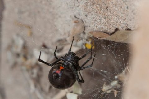 Cool Facts About Black Widows