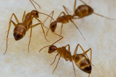 How Crazy Are Crazy Ants? Houston Ant Control Experts