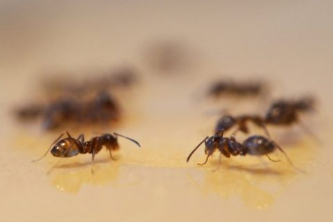 8 Ants That Are Likely to Invade Houston Homes