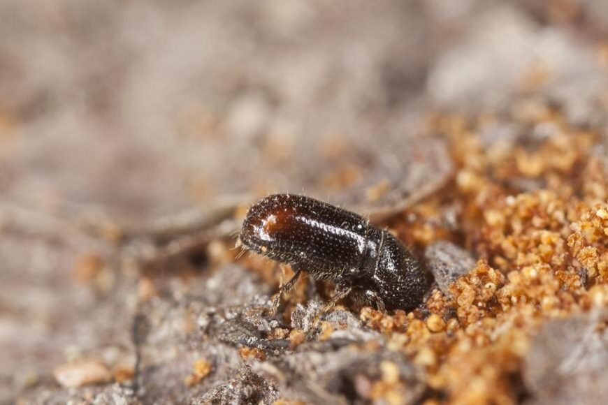Bark Beetles on the Rise in Houston