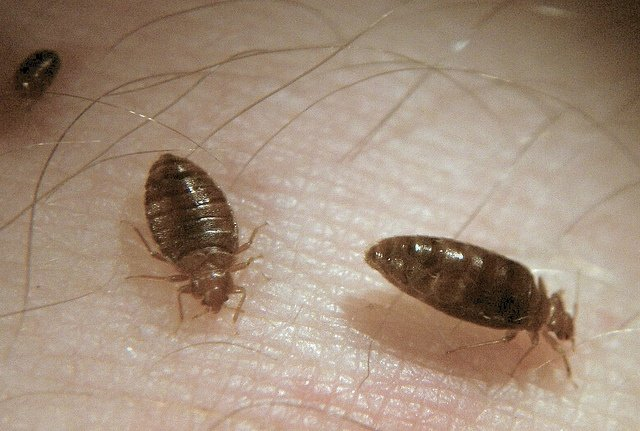 The Top Ways Bed Bugs Enter Your Home