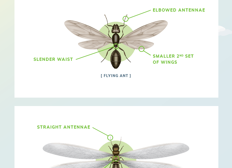 [Infographic] The Differences between Flying Ants and Termites