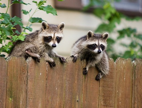 GOT RACCOONS? LEAVE TRAPPING TO THE PROFESSIONALS