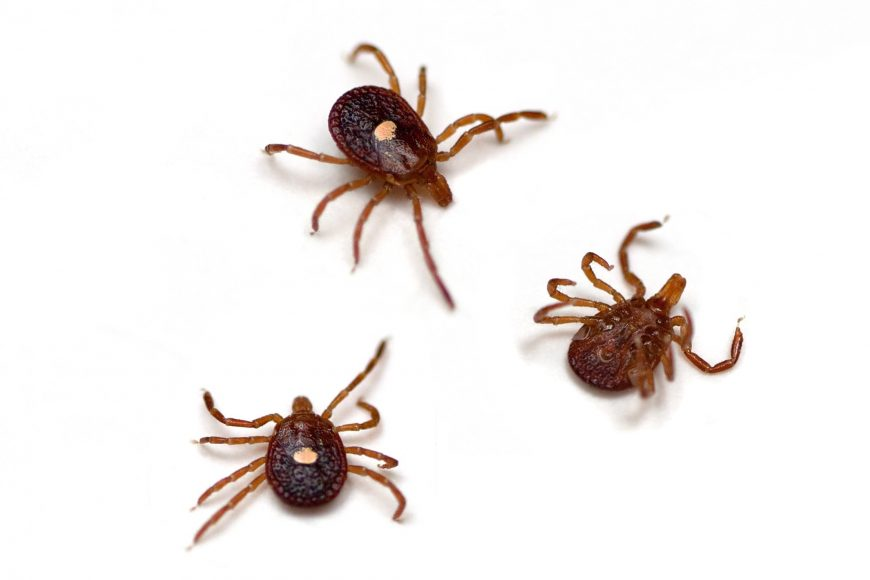 A Guide To The Various Tick Species