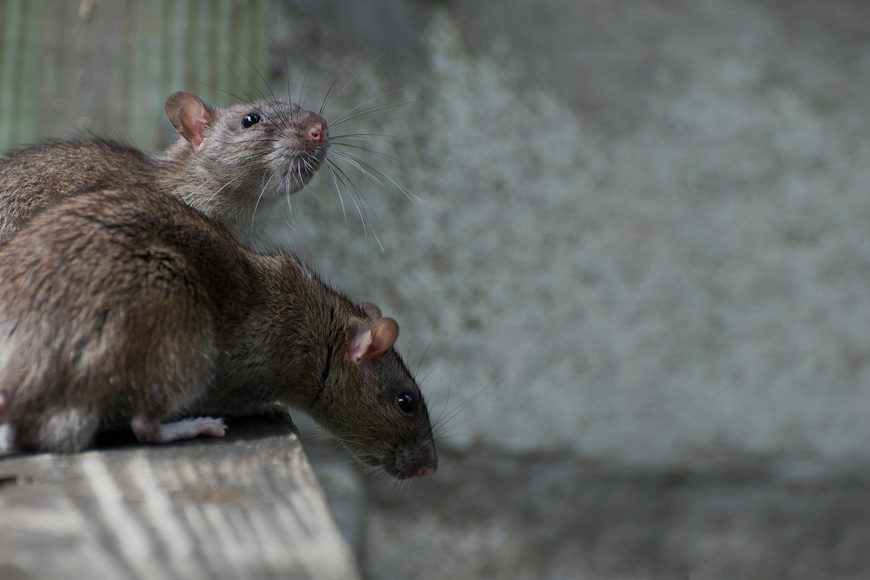 The Four Most Common Diseases That Humans Are Known To Contract From Rodents