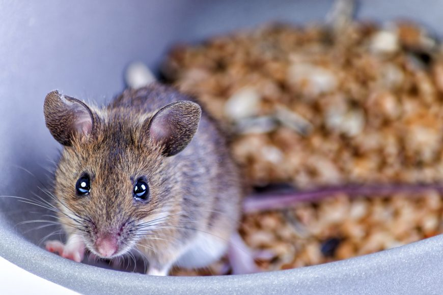 WHAT ATTRACTS MICE TO YOUR HOUSTON HOME?
