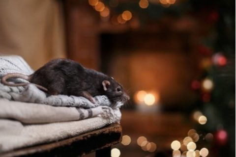 Norway Rats Are Braver Than You Think | Houston Rat Control Experts