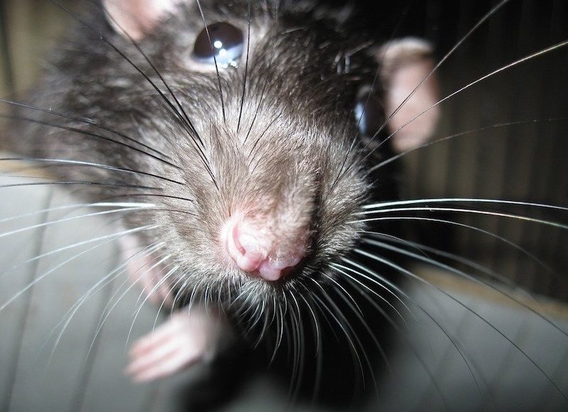 7 SIGNS OF RAT INFESTATIONS IN YOUR HOME