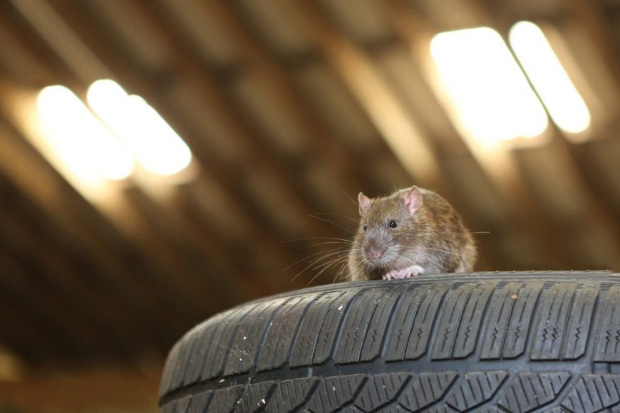 WHY YOU SHOULD KEEP RODENTS AWAY FROM YOUR CAR ENGINE