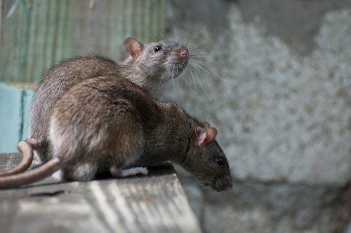 GET RID OF RATS!