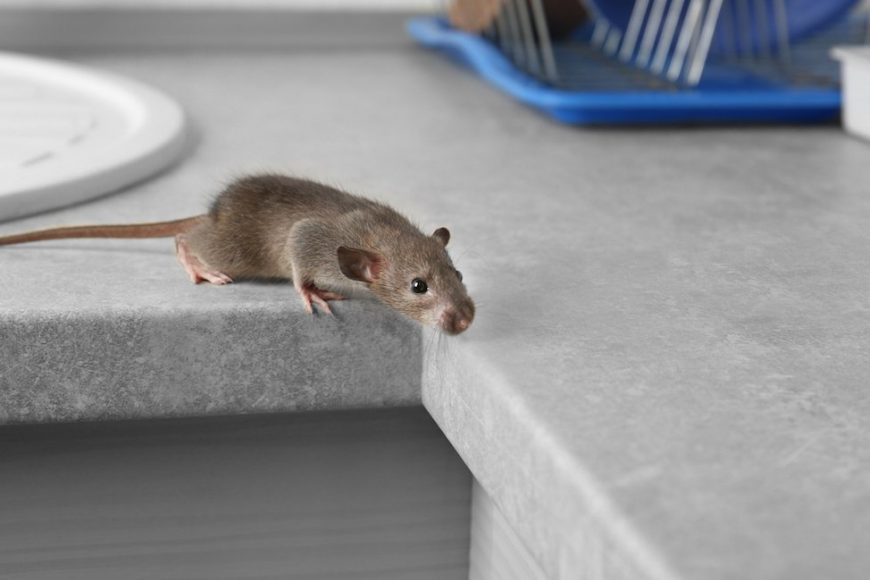 The Most Common Home-Invading Rodent Pests In Houston