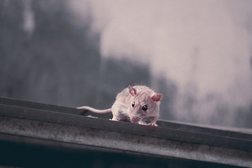PREVENTING AND REMOVING ROOF RATS FROM YOUR ATTIC