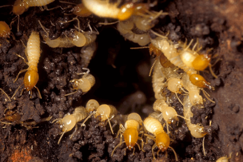 TERMITES SWARMING: FACTS YOU NEED TO KNOW