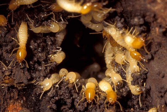 WHAT YOU SHOULD KNOW ABOUT A PROFESSIONAL TERMITE INSPECTION