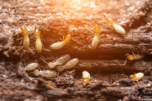 WHAT TYPES OF TERMITES ARE IN HOUSTON?