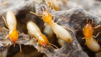 Does Your Insurance Cover Termite and Pest Damage? Probably Not, and Here's Why