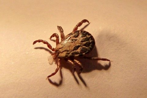 The Role Of Ticks In The Ecosystem